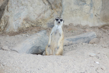 Meerkat's moving out from his hole