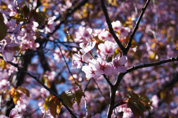 Branches of blossoming pink cherry flowers tree