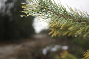 rain drops on pine