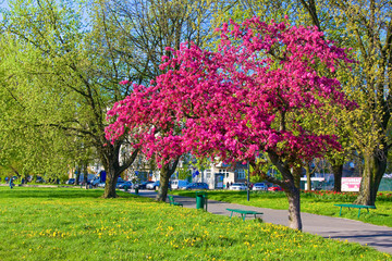 Blossiming sakura in Krakow, Poland