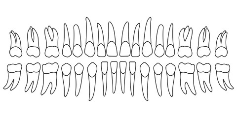 set of human teeth