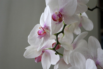 Seven day old orchid on white background. Closeup.