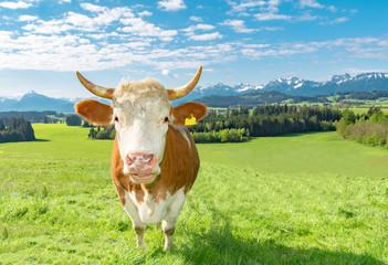 Wall Mural - Urlaub im Allgäu, hübsche Fleckvieh - Kuh vor  Alpenpanorama