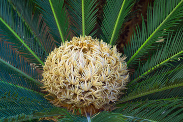 Sago palm. Cycas. Green prickly leaves of palm trees.