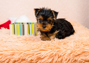 Puppy Yorkshire Terrier with a gift box