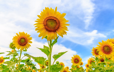 sunflower blossom in farm with blue sky backgeound