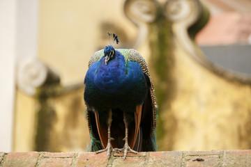 beautiful peacock at the zoo