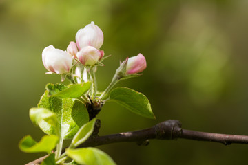 Beautiful fresh apple tree blossoms on a natural background.