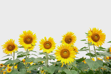 beautiful sunflower plant in the field, Thailand