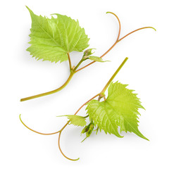Fototapete - Grape leaves on branch isolated on white background.