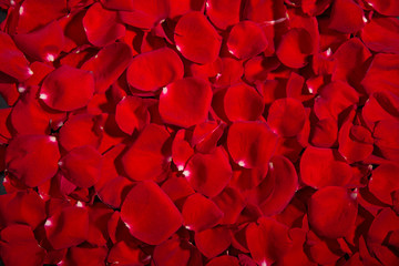 Background of red roses. A lot of rose petals. postcards, Wallpaper, Valentine's Day, anniversaries, birthday, wedding. For design.