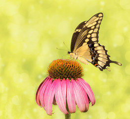 Dreamy image of a Giant Swallowtail butterfly on a Purple Coneflower