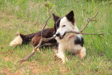 Border collie plays with a branch