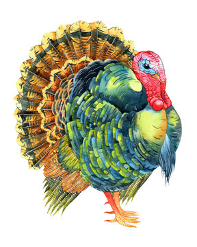 Vector watercolor turkey on white background