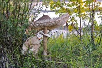Pair of grown parasol mushrooms in high grass
