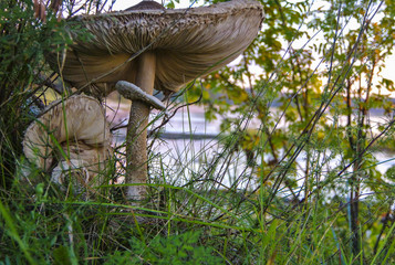 Pair of opened parasol mushrooms in the sunset light
