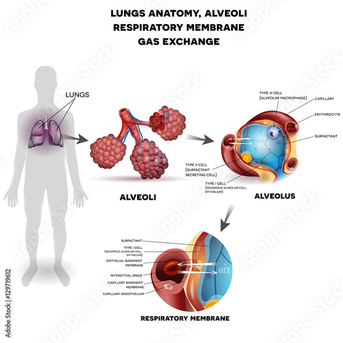 Respiratory system, lungs and alveoli. Respiratory membrane of ...
