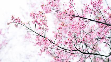 Pink Cherry blossom , Sakura flower blooming