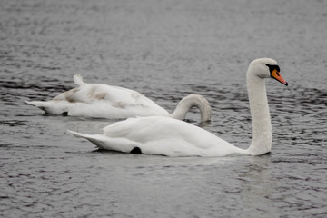 2 Swans and a Pond
