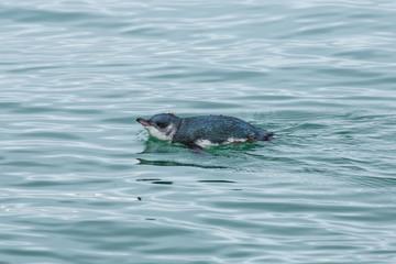 Swimming little blue penguin, rare endemic bird of New Zealand
