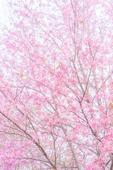 Pink blossoms on the branch with foggy during spring blooming Branch with pink sakura blossoms and fog background. Blooming cherry tree branches against a cloudy sky