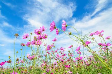 Cosmos flower against blue sky, Chiang Rai, Thailand.