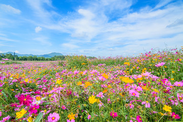 Cosmos flower against blue sky, Chiang Rai, Thailand.