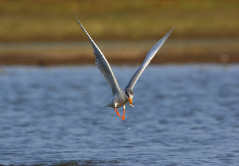 River tern Flying