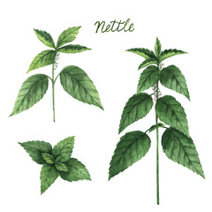 Hand drawn watercolor vector botanical illustration of nettle.