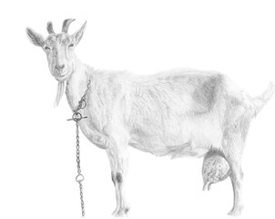 Hand drawn goat in vectors