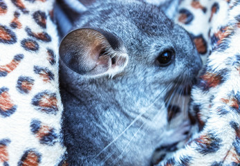 The small gray chinchilla with big ears