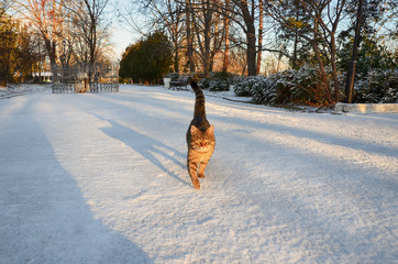 Tabby cat walking on a snow-covered park at dawn.