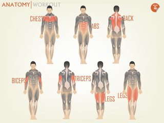beautiful design of anatomy for working out at the gym consist of chest,ABS,back,biceps,triceps and legs,body building concept
