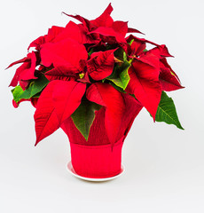 Christmas red poinsietta isolated on a white background