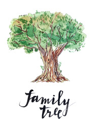 Family tree: old olive