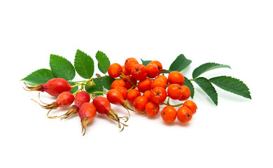 rose hips and rowan berries on a white background