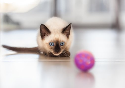 Old style seal point female Siamese kitten plays with the ball.