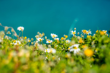 Camomille flowers at aegean seaside, springtime