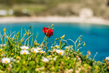 Camomille flowers and a poppy at aegean seaside, springtime