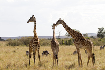 Giraffe family in South Africa