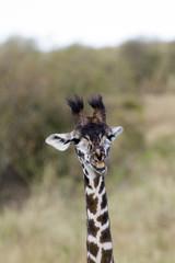 Little Giraffe Close up