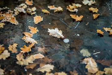 autumn leaves in ice water