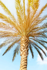 Palm on sky view background, Traveling motif wallpaper,soft blur style with special colored effect.