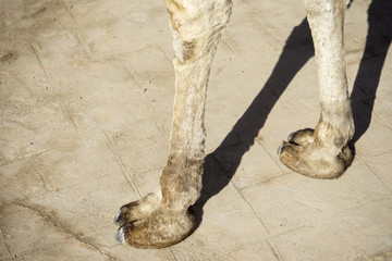 The camel hooves
