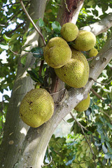 Breadfruits.