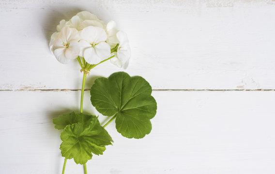 Pelargonium, garden geranium, zonal geranium Flowers on white (selective focus image)