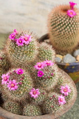 Cactus with small purple flowers