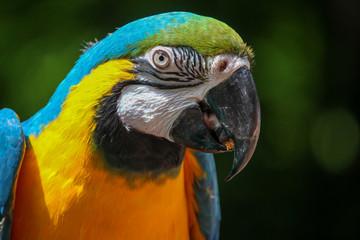 Macaw Head Closeup