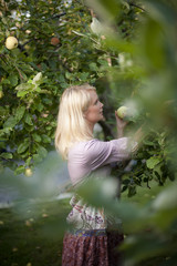 Sweden, Mid adult woman picking apples from tree
