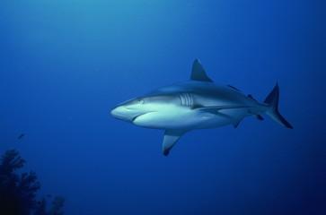 Grey reef shark (Carcharhinus amblyrynchos), Red Sea, Sudan, Africa